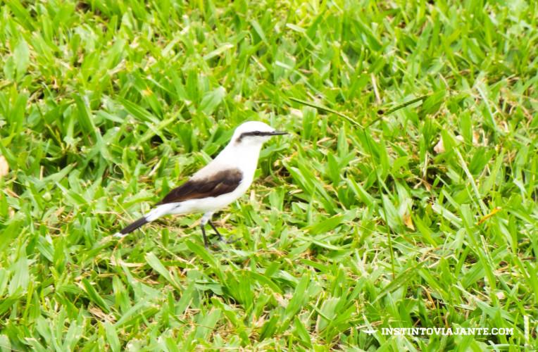 Lavadeira-mascarada (Fluvicola nengeta) em Aldeia Velha-RJ - O vilarejo é um ótimo lugar para praticar birdwatching (observação de pássaros).