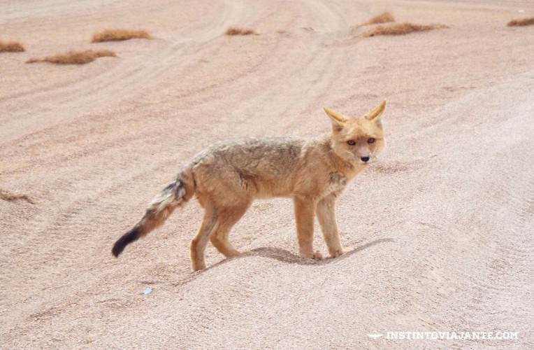 Zorro (raposa) nas imediações da laguna Cañapa, no meio do deserto de sal da Bolívia.