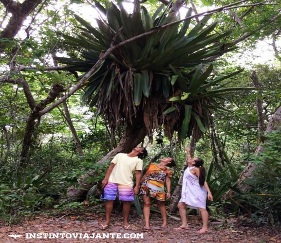 bromelias gigantes peninsula de marau bahia camamu